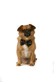 Cute brown dog with black bow tie Royalty Free Stock Images