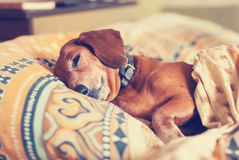 Cute brown dog, the dachshund sleeps under the blanket Stock Image