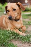 Cute brown dog on the ground Stock Images