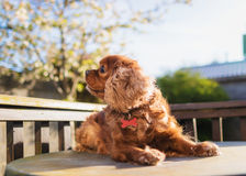 Cute brown dog Royalty Free Stock Images
