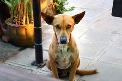 Cute brown dog looking at camera. Portrait of cute brown dog looking at camera stock photos