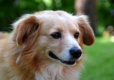 Cute brown dog in outdoor, pet. A cute, brown pet standing in garden on grass stock photos