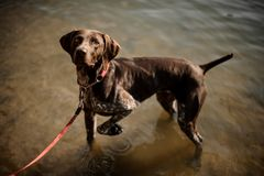 Cute brown dog standing in the lake water and looking up stock images