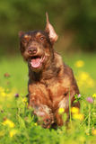 Cute brown dog running through flower field Royalty Free Stock Image