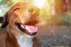 A cute brown dog smiles. A cute brown dog smiles outdoor in fall under the sun light Royalty Free Stock Photos