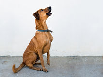 Cute brown dog waiting for dog treat - rescue dog outdoors Royalty Free Stock Images
