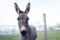 Cute brown donkey at farm Royalty Free Stock Photos