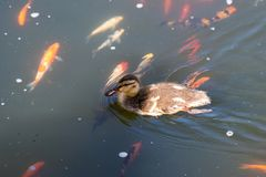 Cute duckling swimming in a koi pond in Southern California. Cute brown duckling swimming in a koi pond in Southern California close up Royalty Free Stock Photography