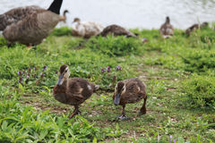 Cute Brown ducklings walking in the grass. On a sunny day Royalty Free Stock Images