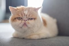 Cute Brown Exotic shorthair cat. Sit on sofa with sunlight flare from window. Adorable animal or pet inside house, home, condo, or apartment. best human friend Royalty Free Stock Images