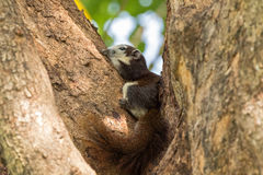 Cute Brown Finlayson squirrel with beige cream face and bushy ta. Il resting on tree in afternoon, Bangkok, Thailand Callosciurus finlaysonii royalty free stock images
