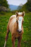 Cute brown foal in a green meadow Stock Photos