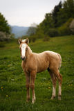 Cute brown foal in a green meadow Stock Image