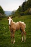 Cute brown foal in a green meadow Stock Image