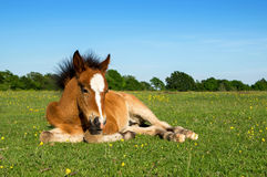 Cute Brown Foal Laying on Grass Stock Image