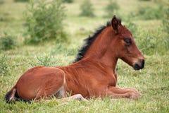 Cute brown foal Stock Image