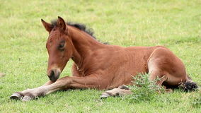Cute brown foal Royalty Free Stock Images