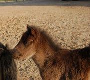Cute brown foal in paddock Stock Photos