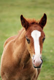 Cute brown foal portrait Royalty Free Stock Photography