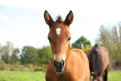 Cute brown foal portrait in summer Stock Images