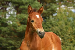 Cute brown foal portrait in summer Royalty Free Stock Photos