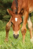Cute brown foal portrait in summer Stock Photography