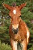 Cute brown foal portrait in summer Royalty Free Stock Images
