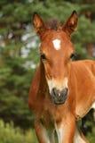 Cute brown foal portrait in summer Stock Photo
