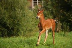 Cute brown foal portrait in summer Stock Image