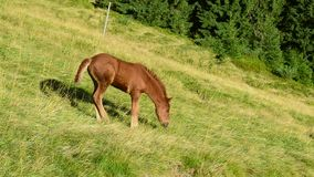 Cute brown foal stands on pasture in field in mountains. Cute brown foal stands on pasture in field, at dawn on background of hill in summer in Carpathian stock video footage