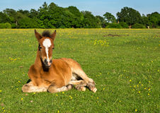Cute Brown Foal Royalty Free Stock Photo