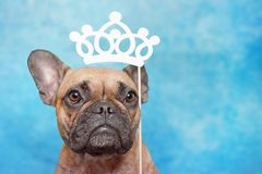 Cute brown French Bulldog dog with big eyes and princess paper crown photo prop above head on blue studio background. Concept for spoiling pets by humans royalty free stock photography