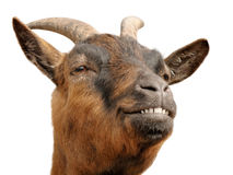 Cute brown goat's grin. Cute animal portrait of a small goat looking happy and cheerful royalty free stock image