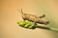 Cute brown grasshopper bug on a lavender in springtime Stock Photos