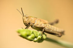 Cute brown grasshopper bug on a lavender in springtime stock photography