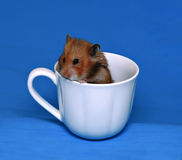 Cute brown hamster scared in a white porcelain cup Royalty Free Stock Photo