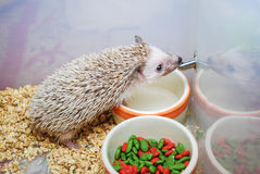 Cute Brown Hedgehog Drinking Water Stock Photography