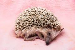 Cute Brown Hedgehog Sleeping on Dirty Cloth Stock Photo