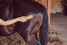 Cute brown horse in the countryside. Woman horseman brushes the mane of her horse in stables on a farm, taking care of purebred pets stock photography