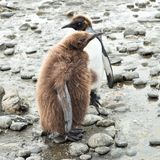 King penguin chicks. Cute Brown king penguin chick and one in the moult, loosing the fluffy feathers  in South Georgia Royalty Free Stock Photography