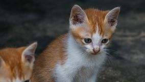 Cute brown kitten royalty free stock photo