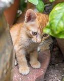 Cute brown kitten hide in garden. Small cute golden brown kitten hide in backyard garden under natural light, selective focus on its eye Stock Photos