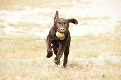 Cute brown labrador puppy dog running with ball in his mouth. In green grass field stock photo