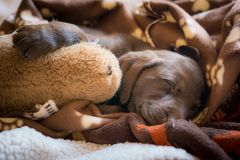 Cute brown Labrador puppy sleeping stock photo