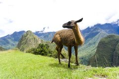 Cute brown lama on the ruins of Machu Picchu lost city in Peru Royalty Free Stock Photos
