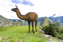 Cute brown lama on the ruins of Machu Picchu lost city in Peru Stock Photography