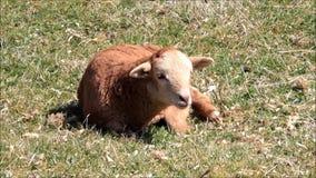 Cute brown lamb. Lying on meadow stock video