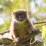 Cute brown lemur on a back lit green forest in Madgascar Stock Photos