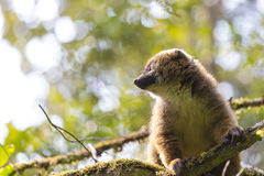 Cute brown lemur side portrait in a forest Royalty Free Stock Photos