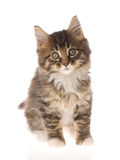 Cute brown Maine Coon kitten on white bg. Brown tabby Maine Coon kitten on white background Stock Photos
